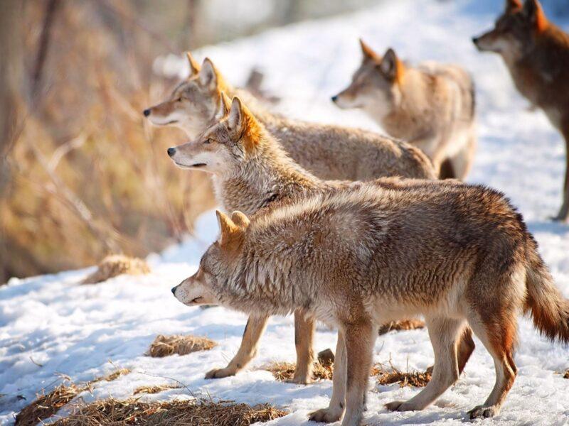 В Юрьевецком районе охотники уничтожили волчью стаю, два года наводившую ужас на всю округу