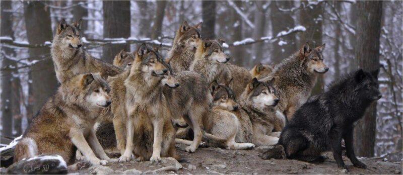 Волчица научилась обходить красные флажки