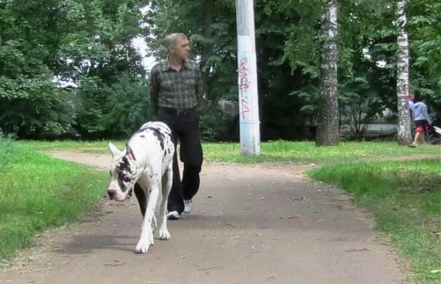 Житель Ивановской области привлечен к ответственности за выгул собаки без поводка и намордника