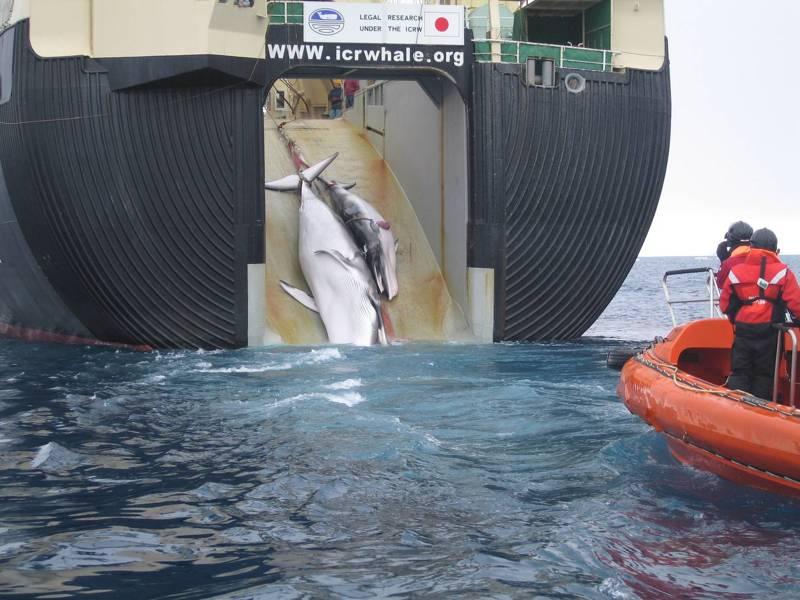 Проголосуйте за запрет вылова китообразных в учебных и культурно-просветительских целях