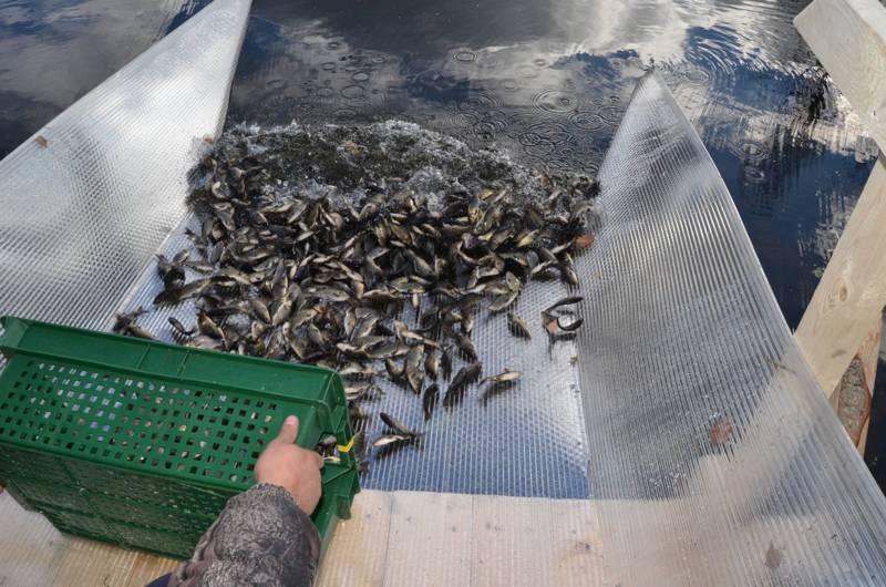 В Горьковское водохранилище выпустили более 6 тысяч экземпляров молоди сазана