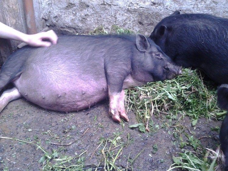 Еще один случай африканской чумы свиней зарегистрирован на территории соседней области