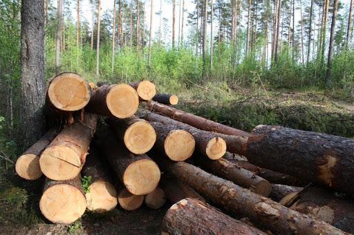 В Вичугском лесничестве вырубили лес с помощью чужой подписи